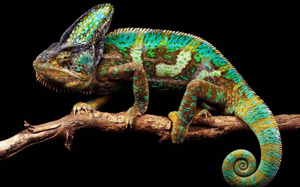 colorful-chameleon-34528-35305-hd-wallpapers