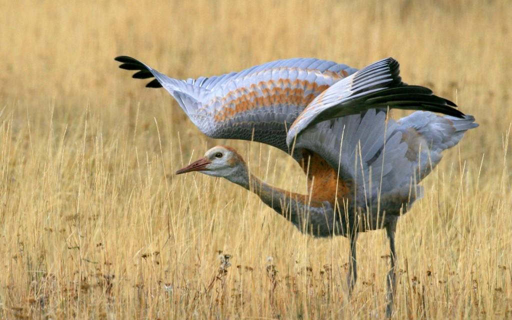 crane-bird-computer-wallpaper-49359-51027-hd-wallpapers