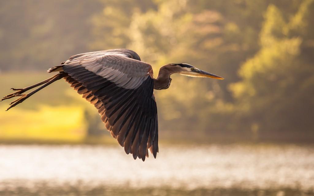 crane-bird-flying-wallpaper-49360-51028-hd-wallpapers