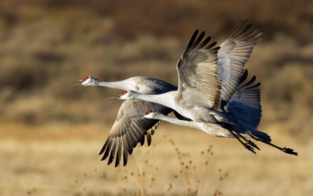 crane-bird-pictures-38437-39315-hd-wallpapers