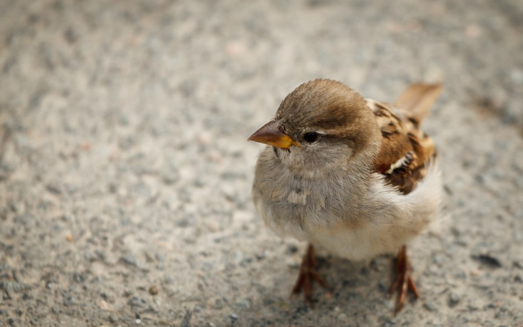 cute sparrow pictures wallpapers