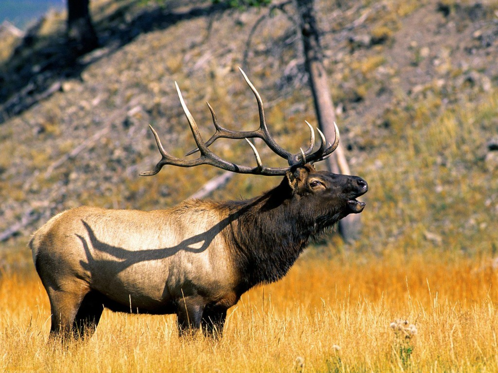 elk-39372-40280-hd-wallpapers
