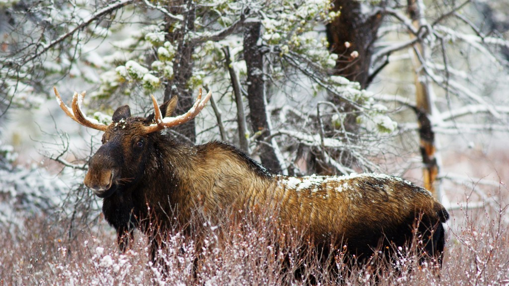 elk-widescreen-wallpaper-49283-50949-hd-wallpapers