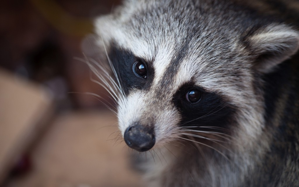 fantastic-raccoon-wallpaper-43653-44720-hd-wallpapers