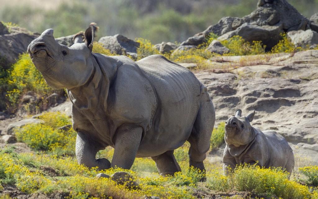 fantastic-rhinoceros-wallpaper-43102-44130-hd-wallpapers