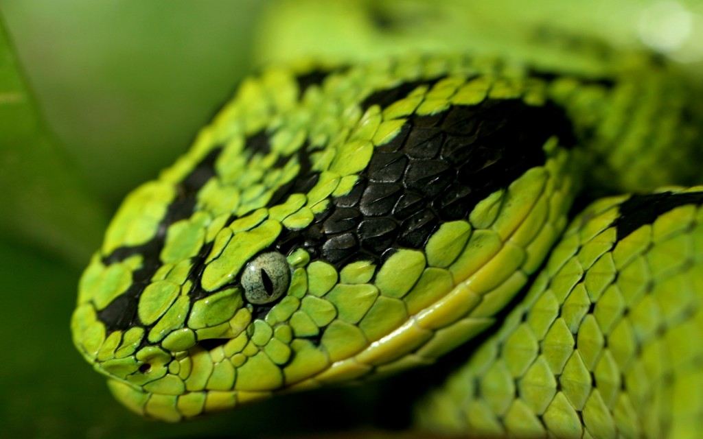 free-snake-wallpaper-29851-30570-hd-wallpapers