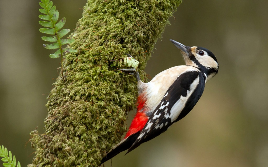 free-woodpecker-wallpaper-39725-40644-hd-wallpapers