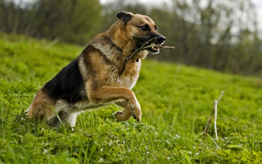 german-shepherd-playing-wallpaper-49103-50760-hd-wallpapers
