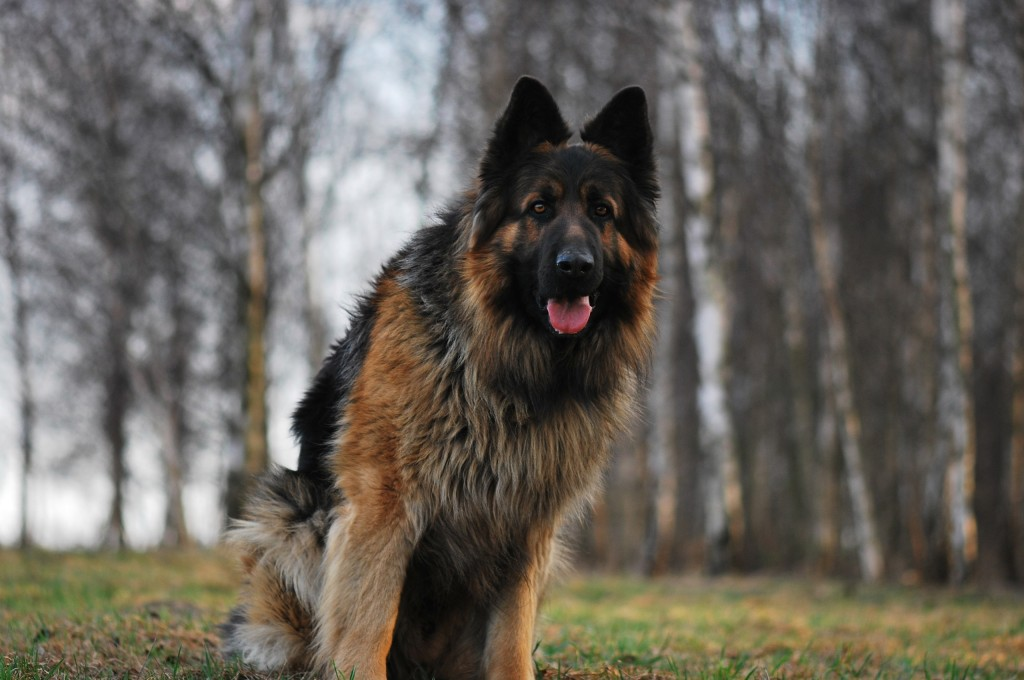 german-shepherd-wide-wallpaper-49104-50761-hd-wallpapers