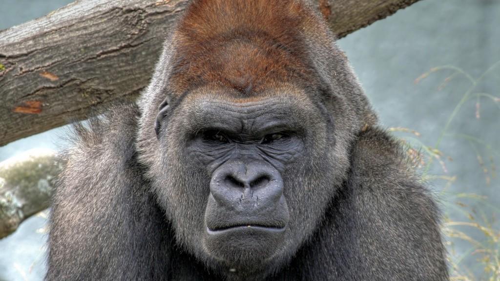gorilla-animal-desktop-wallpaper-49122-50780-hd-wallpapers