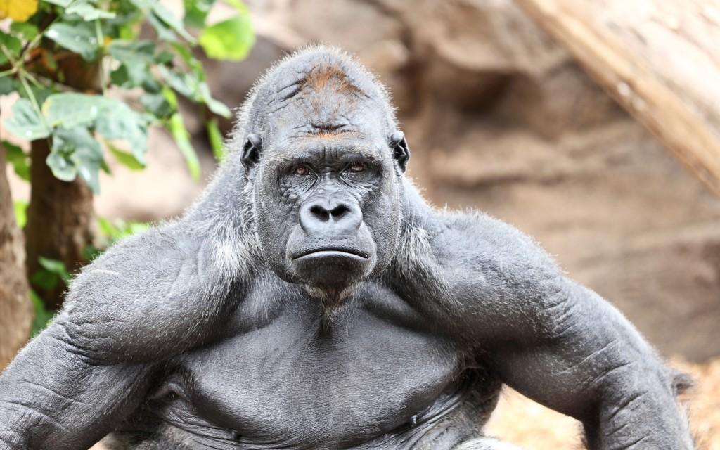 gorilla wallpapers