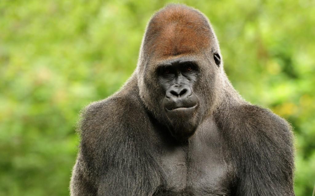 gorilla-widescreen-wallpaper-49124-50782-hd-wallpapers