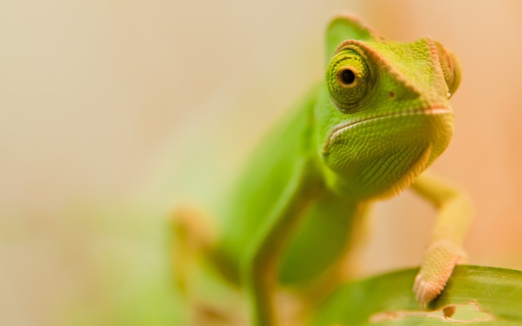 green-chameleon-23642-24296-hd-wallpapers