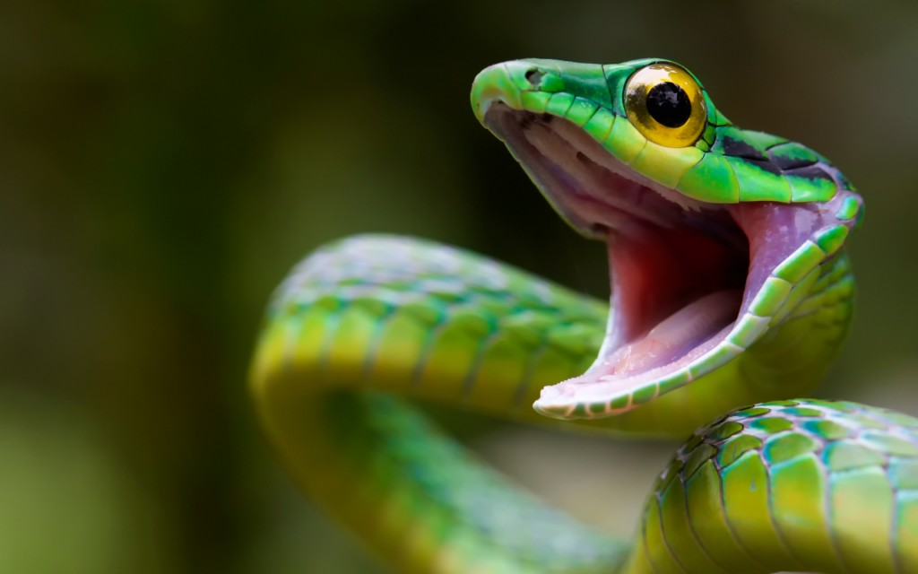 green-snake-wide-wallpaper-49373-51041-hd-wallpapers