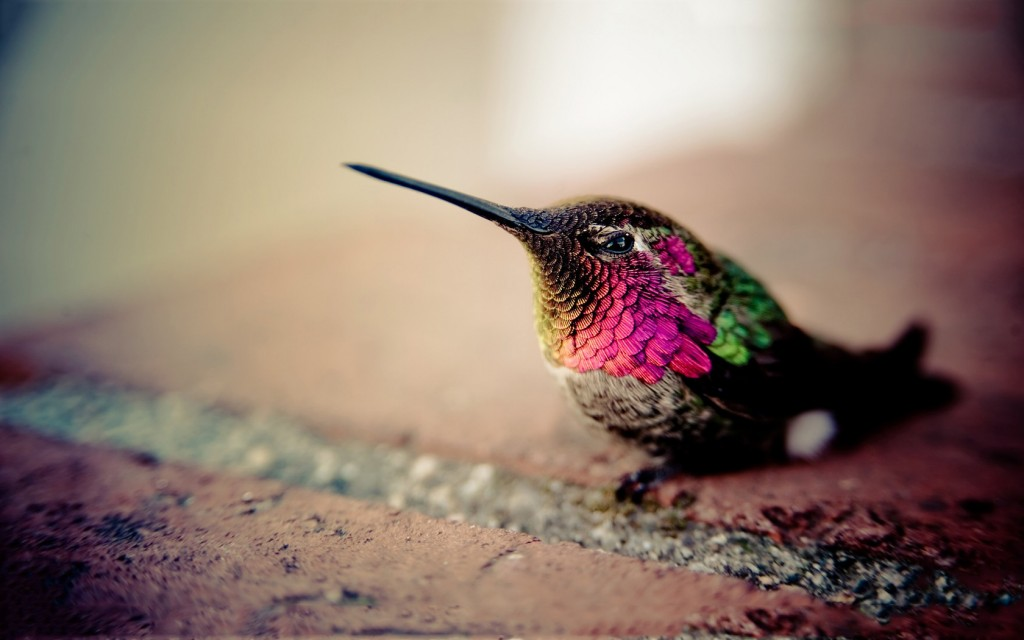 hummingbird-19960-20465-hd-wallpapers
