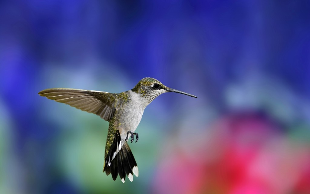 hummingbird-19961-20466-hd-wallpapers