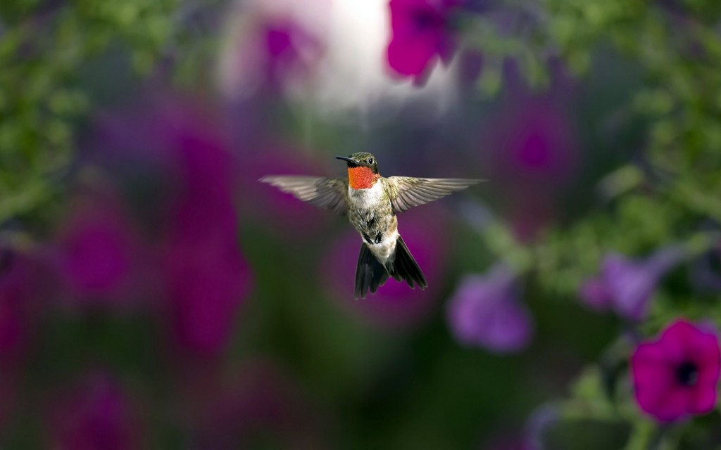 hummingbird-animal-wallpaper-49265-50930-hd-wallpapers