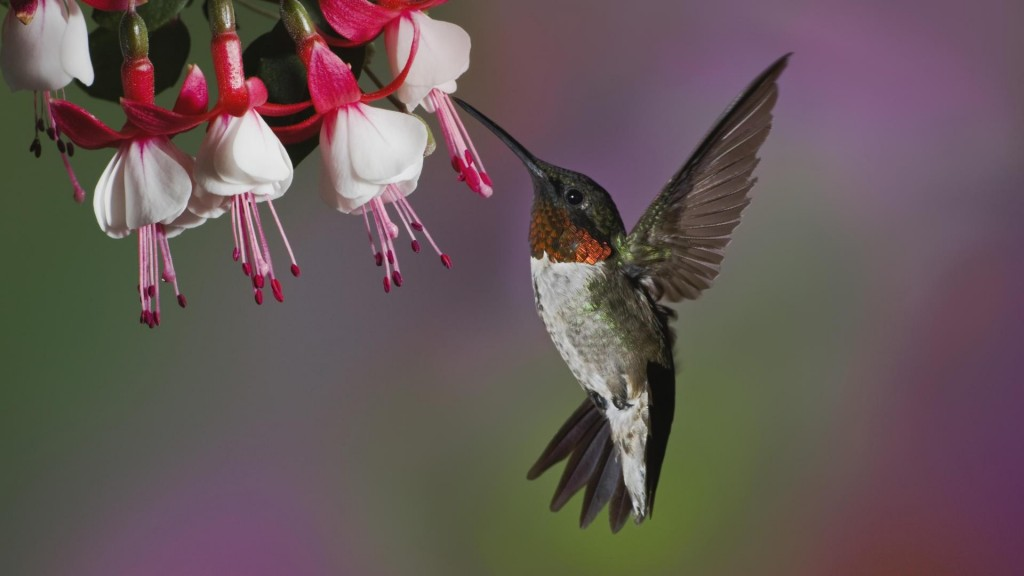 hummingbird-desktop-wallpaper-49264-50928-hd-wallpapers