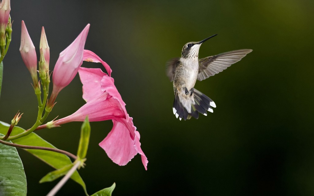 hummingbird-wallpaper-19955-20460-hd-wallpapers