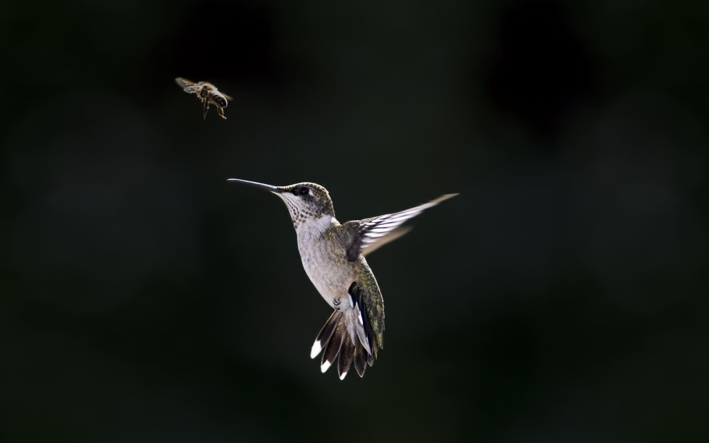 hummingbird-wallpaper-19959-20464-hd-wallpapers
