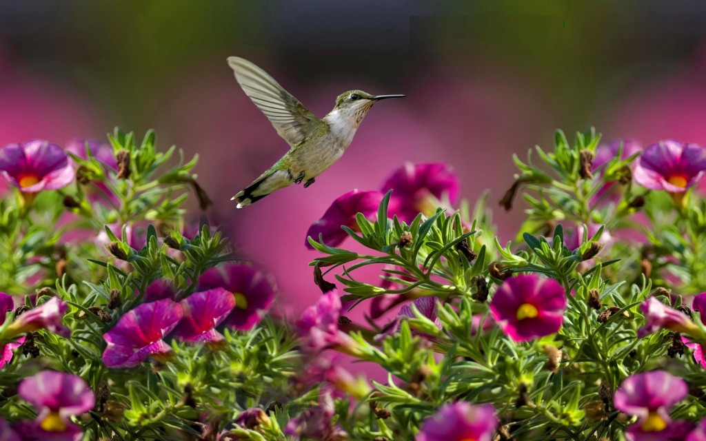 hummingbird-wallpaper-background-49267-50932-hd-wallpapers