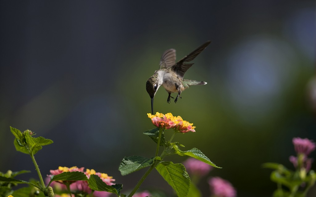 hummingbird-wallpaper-hd-44026-45126-hd-wallpapers