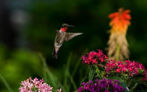 Hummingbird wallpaper background