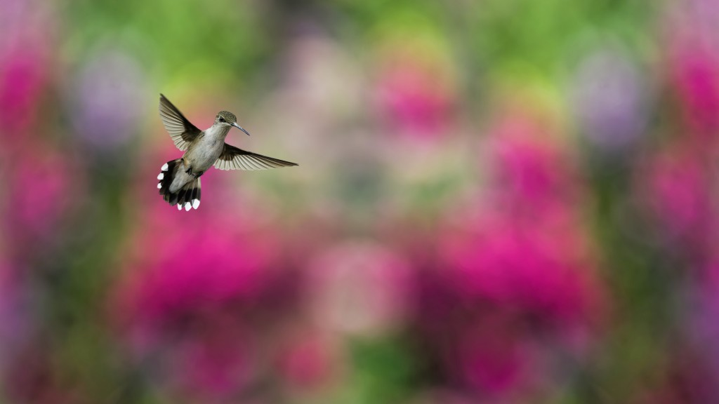 hummingbird-widescreen-wallpaper-49262-50926-hd-wallpapers