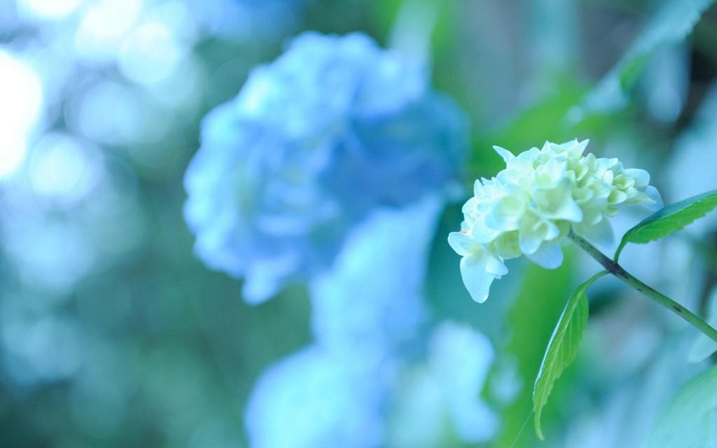 hydrangea-flower-desktop-wallpaper-49013-50663-hd-wallpapers