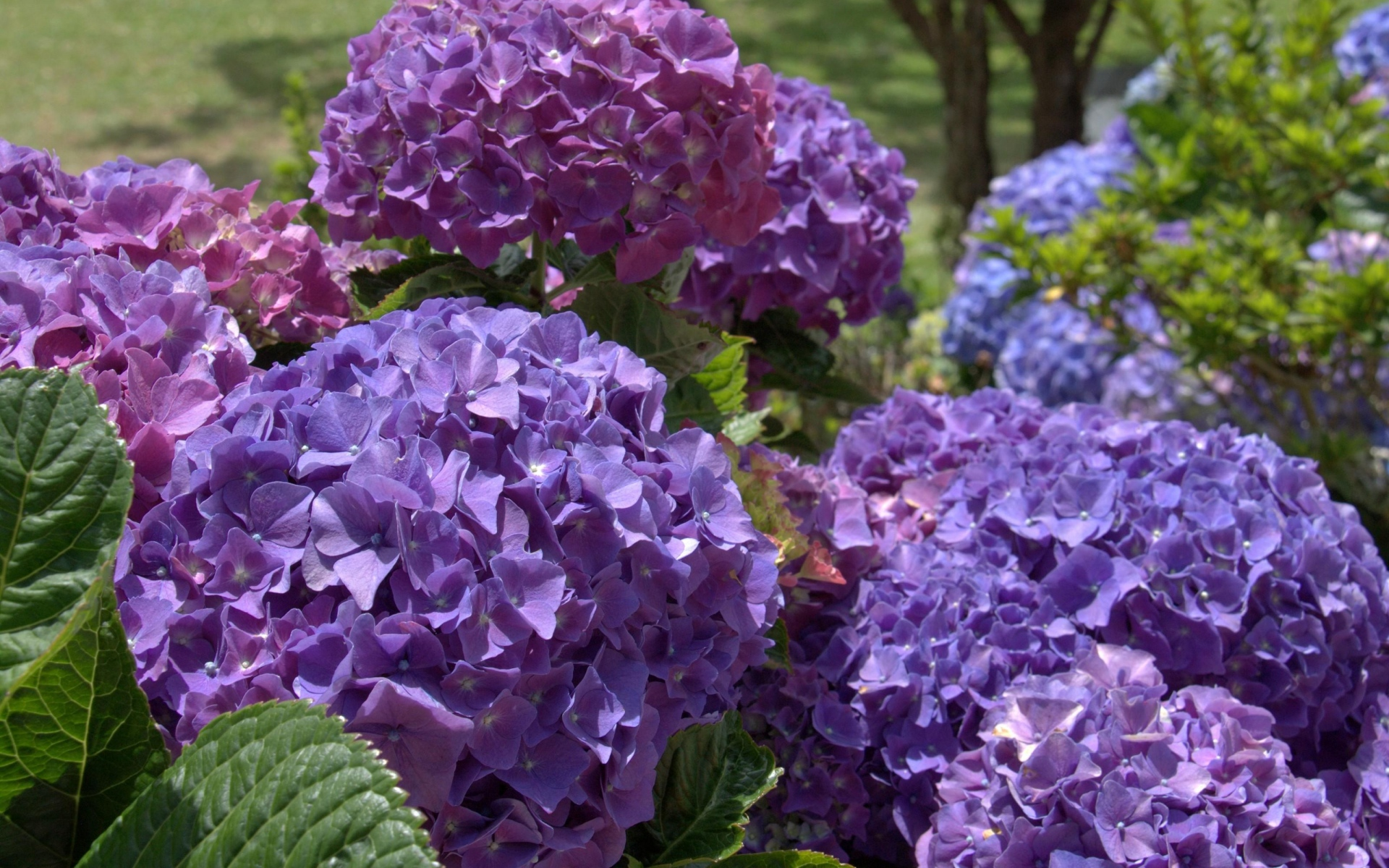 hydrangea flowers wallpapers archives