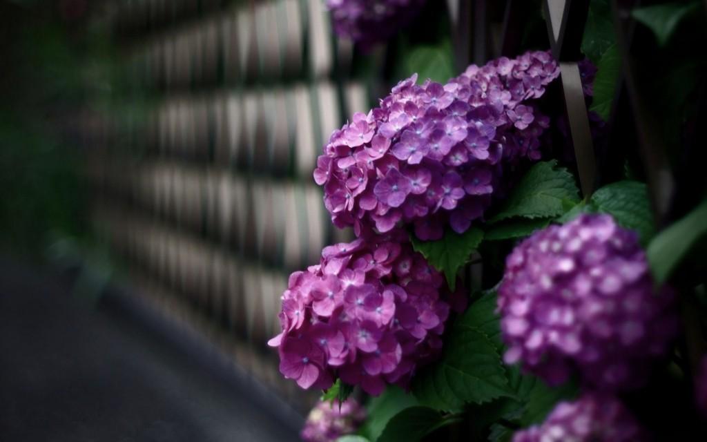 17 Beautiful HD Hydrangea Flowers Wallpapers