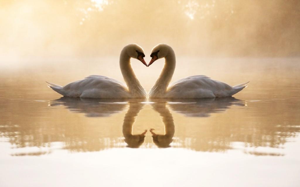 loving-swans-wallpaper-49259-50923-hd-wallpapers