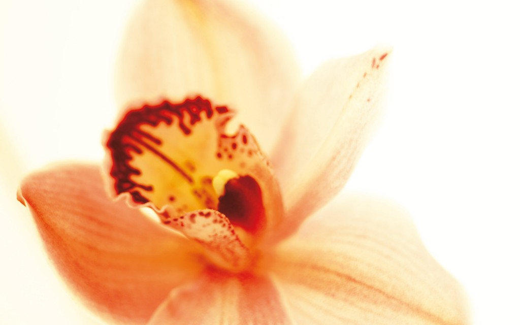 orchid-wallpapers-24566-25236-hd-wallpapers