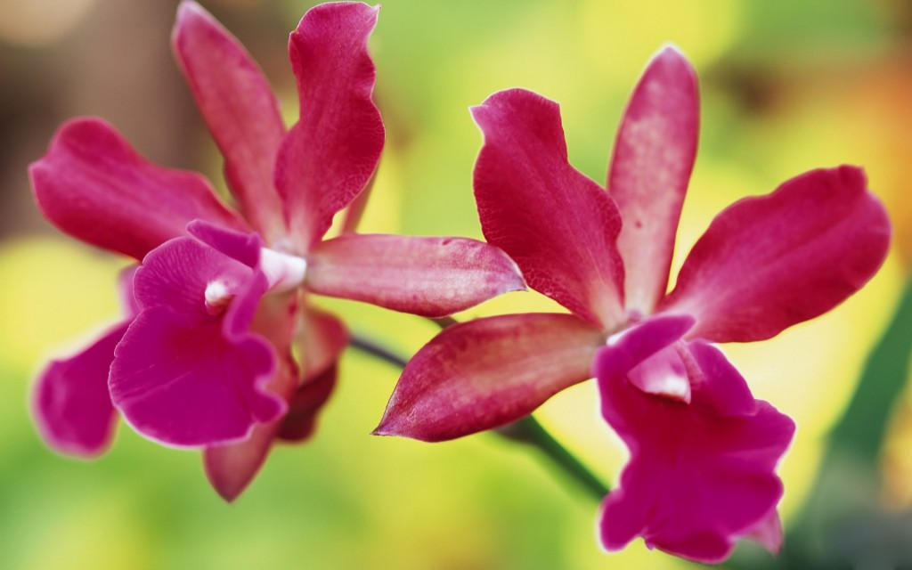 orchids-24562-25232-hd-wallpapers