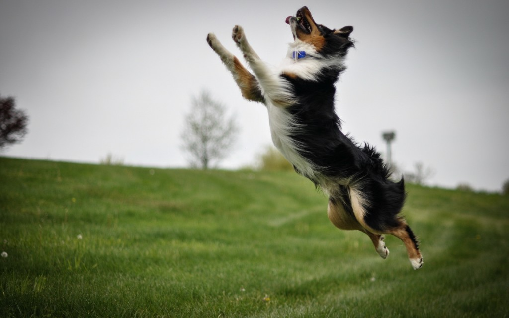 playful-collie-wallpaper-49300-50966-hd-wallpapers