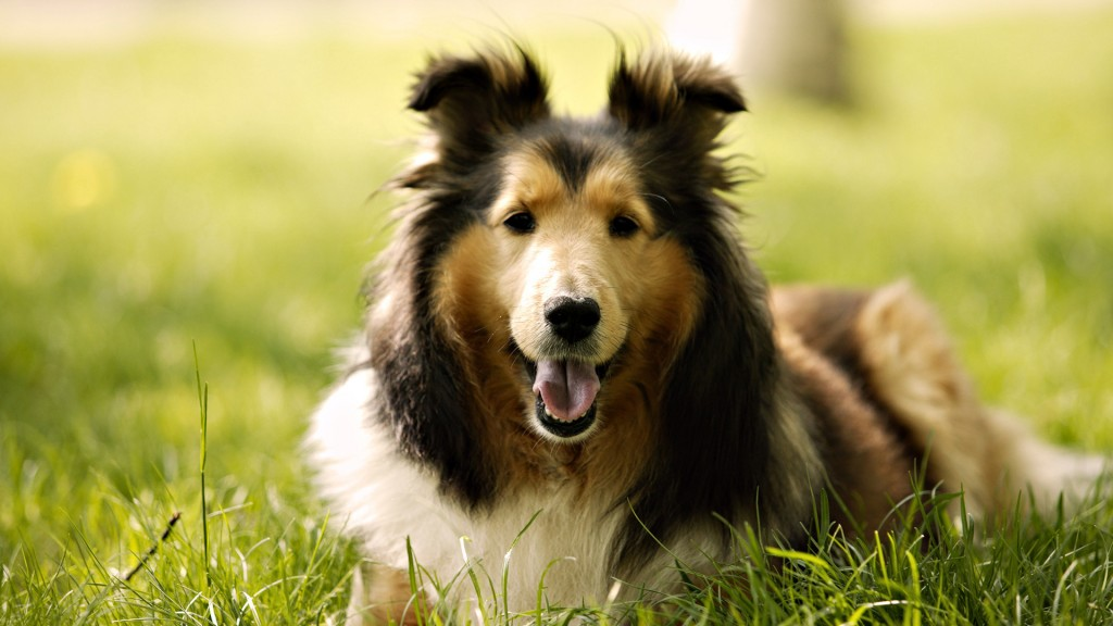 pretty-border-collie-wallpaper-43486-44538-hd-wallpapers
