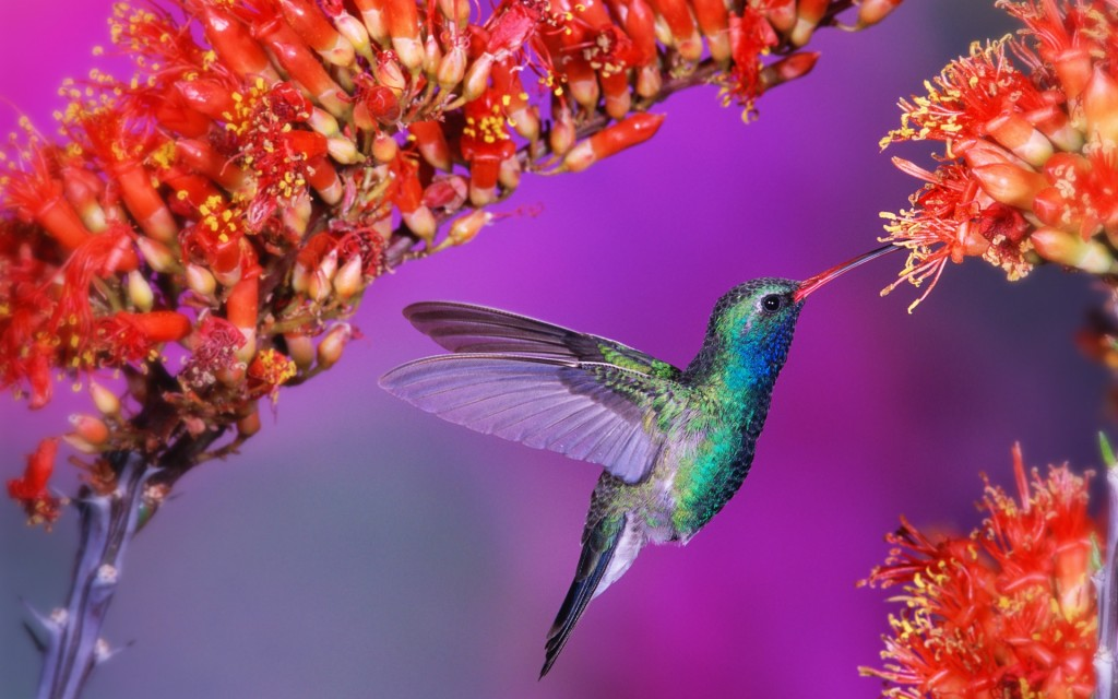 pretty-hummingbird-wallpaper-19956-20461-hd-wallpapers