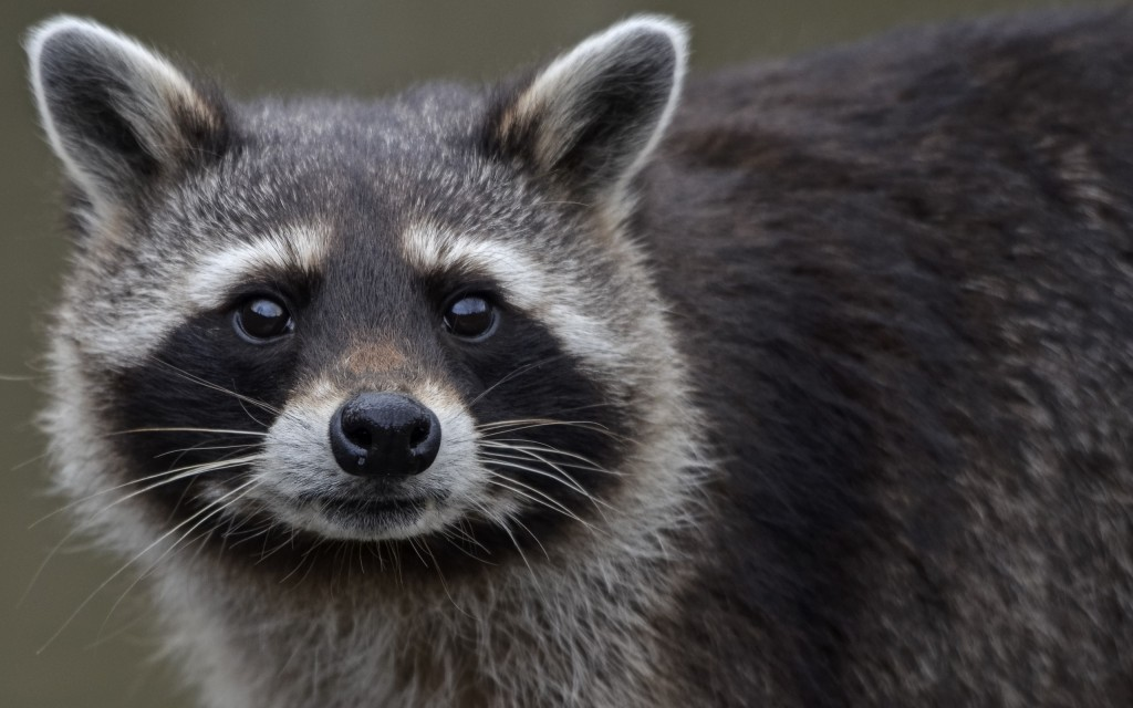 raccoon-close-up-wallpaper-43650-44718-hd-wallpapers