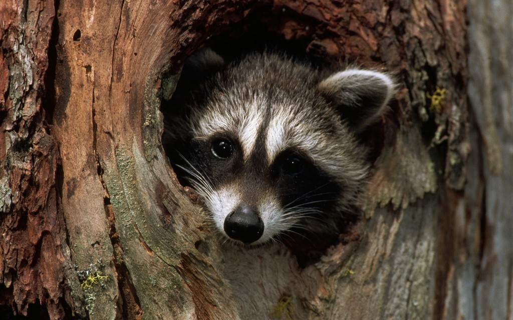 raccoon-desktop-wallpaper-49325-50991-hd-wallpapers
