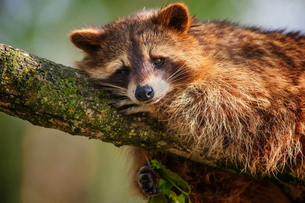 raccoon-wallpaper-43654-44739-hd-wallpapers