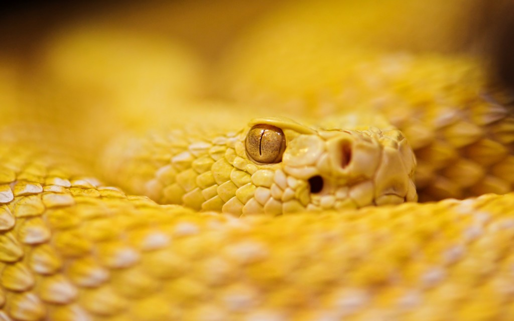 rattlesnakes-29839-30558-hd-wallpapers