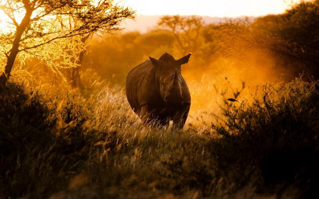 rhinoceros wallpapers