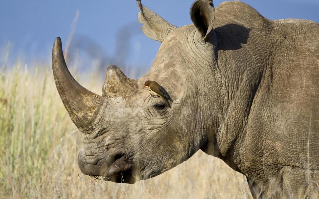 rhinoceros-horn-widescreen-wallpaper-49319-50985-hd-wallpapers
