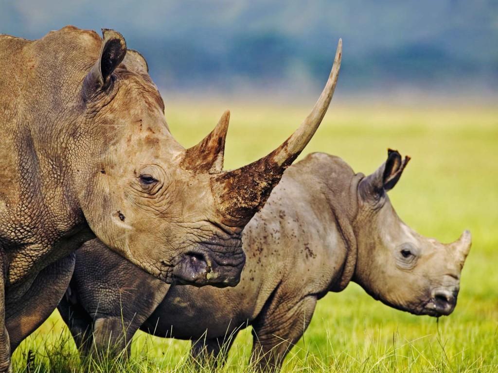 rhinoceros-wallpaper-43101-44129-hd-wallpapers