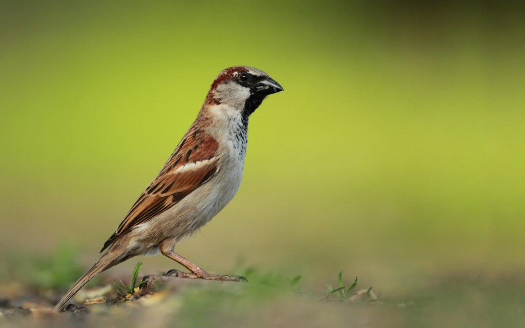 sparrow bird wallpapers