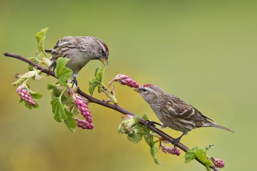 sparrow birds wallpapers
