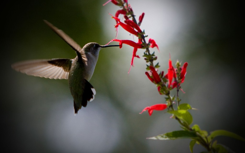 stunning-hummingbird-wallpaper-19957-20462-hd-wallpapers