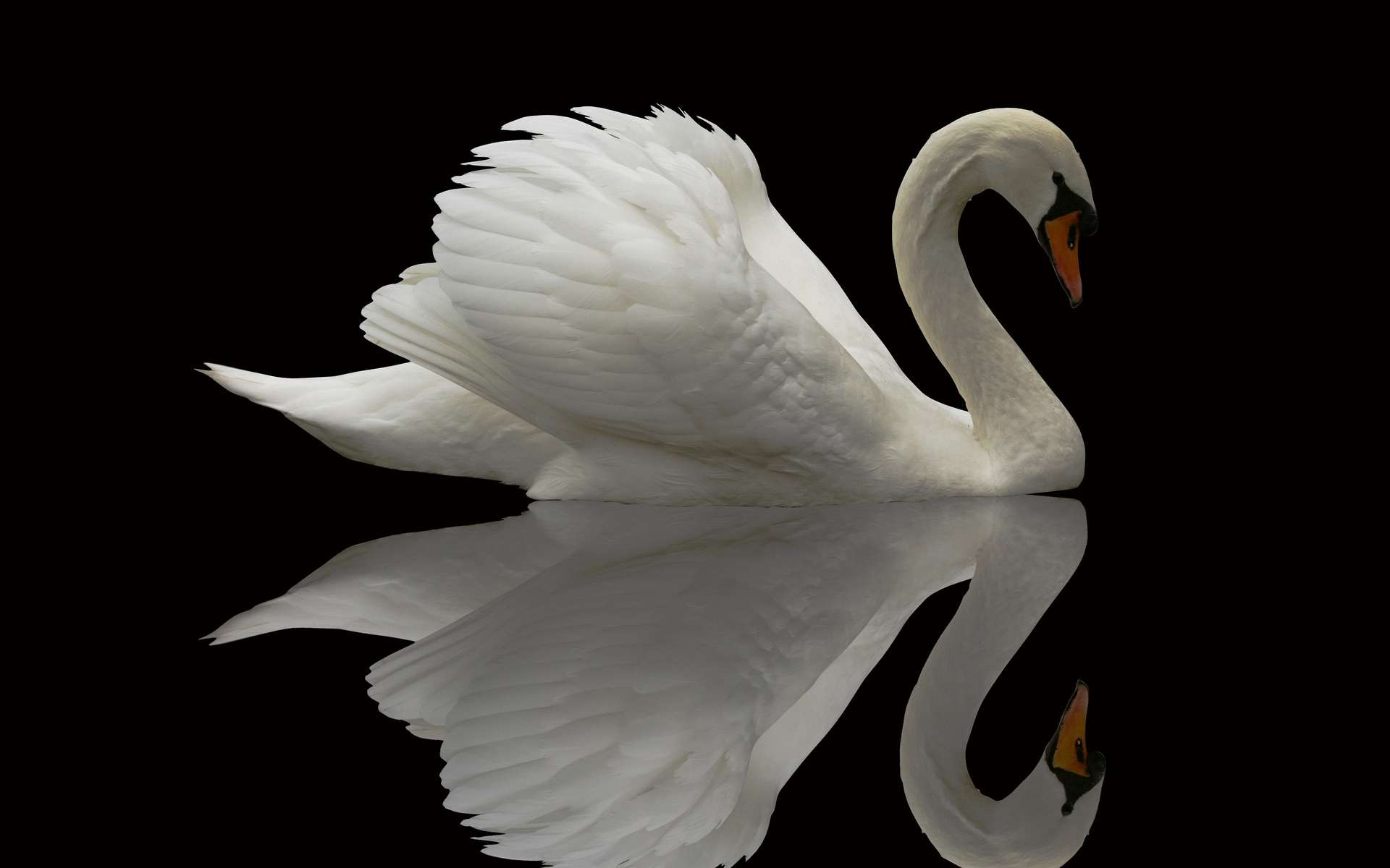 Swan bird wallpaper - photo#1