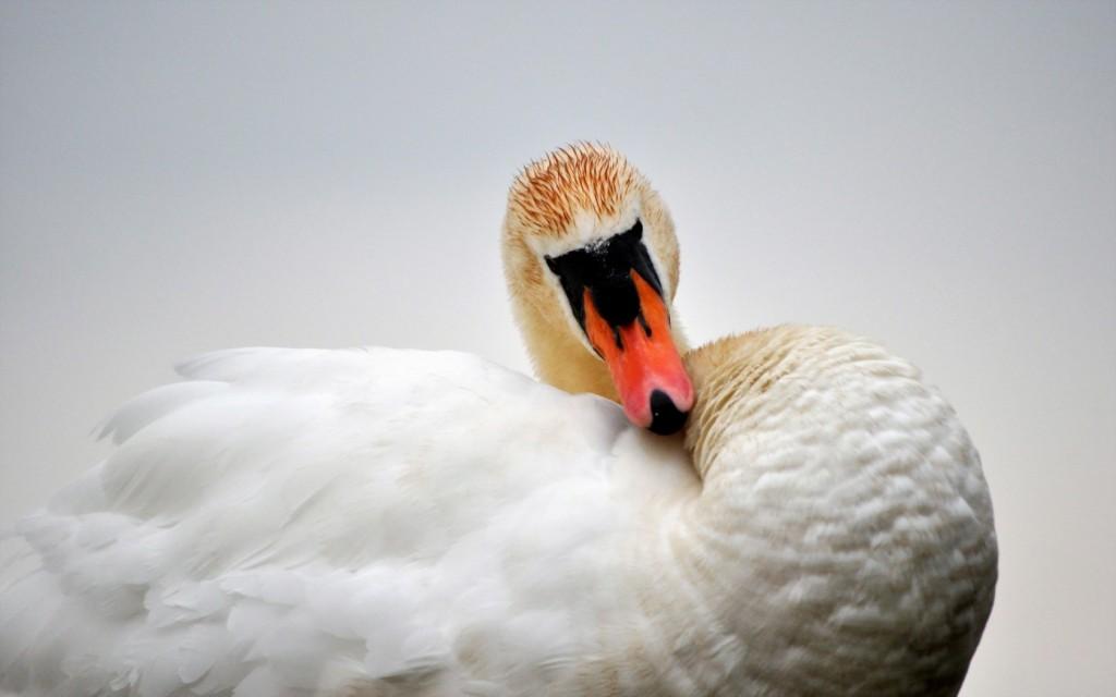 swan-hd-28076-28798-hd-wallpapers