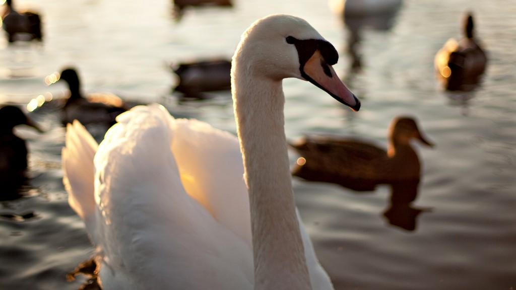 swan-wallpaper-28060-28782-hd-wallpapers